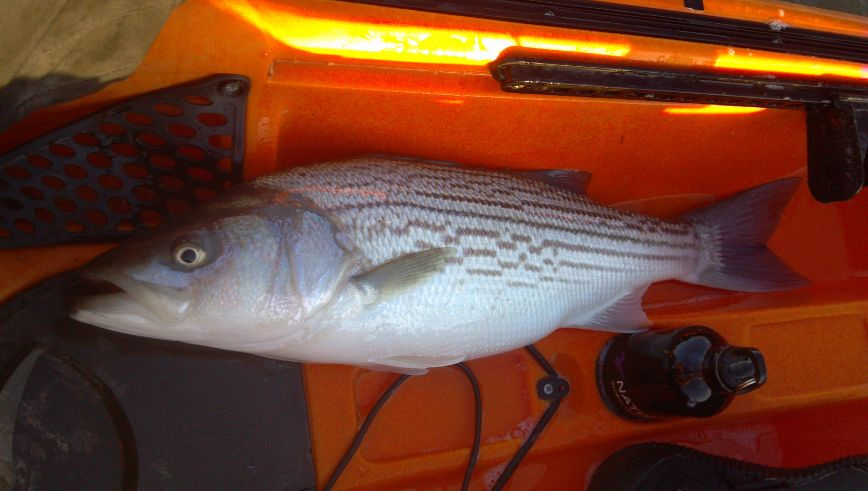 San Pablo Bay Stripe caught by Kayak Fishing 12-29-12 by Ray Brown