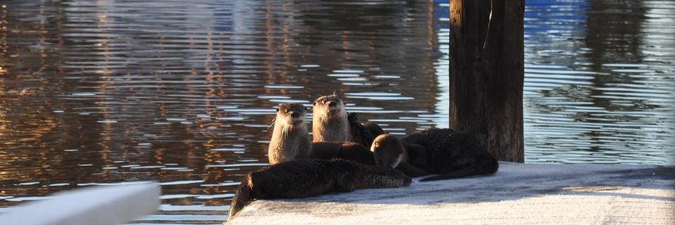 Otters at 101 Surf Sports
